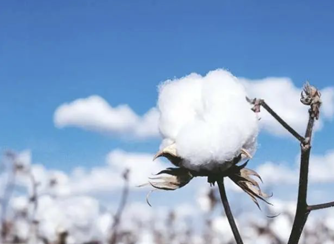 新疆棉花:中国自己还不够用