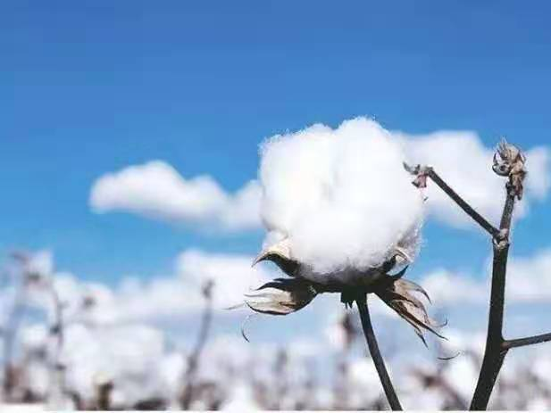 相信祖国的力量:送你一朵新疆小棉花 开在牛羊遍野的天涯