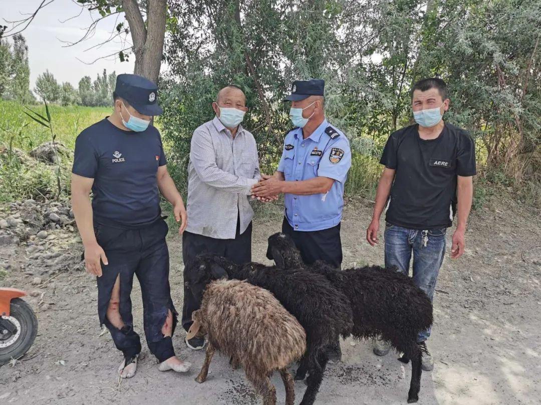 牧民的3只羊掉入水渠 民警跳入渠内救羊险被激流冲走