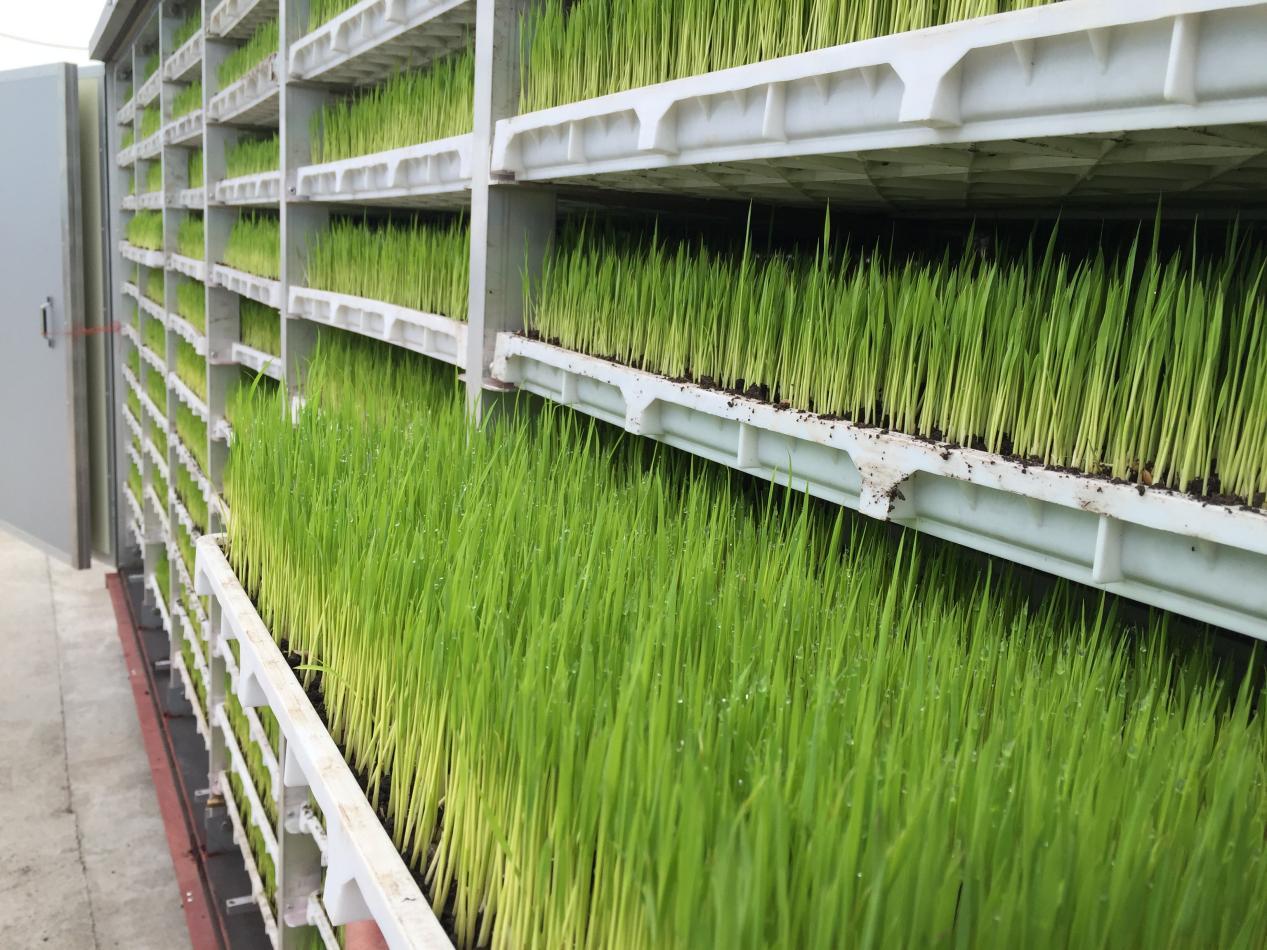 快速育秧技术培育的秧苗